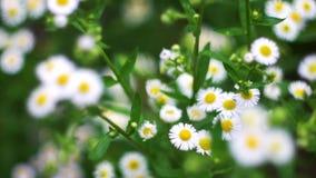 As camomilas bonitas florescem no jardim e balançam no vento video estoque