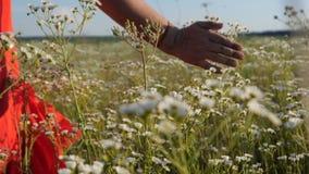 As camomilas patted por uma mão fêmea em um vestido vermelho em um campo no slo-mo video estoque