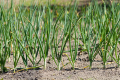 As cebolas verdes crescem Fotografia de Stock
