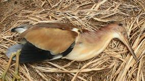 As cegonhas morrem na terra video estoque