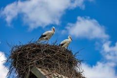 As cegonhas sentam-se no ninho no telhado no verão Imagens de Stock