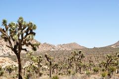 As centenas de árvores de Joshua que expandem sobre um deserto ajardinam Foto de Stock