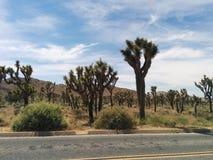 As centenas de árvores de Joshua no deserto ajardinam ao lado da estrada fotos de stock royalty free