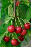 As cerejas novas, maduras das bagas amadurecem no ramo Fotos de Stock