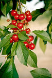 As cerejas rasgam-se para a colheita Fotografia de Stock Royalty Free