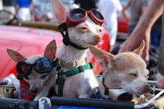 As chihuahuas apreciam o cruzeiro do sonho de Woodward imagens de stock royalty free