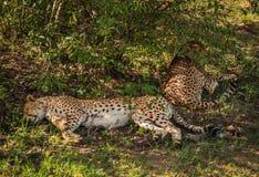 As chitas africanas no Masai Mara estacionam em Kenya Fotografia de Stock Royalty Free