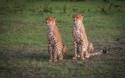 As chitas africanas no Masai Mara estacionam em Kenya Imagens de Stock