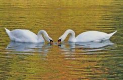 As cisnes acoplam comer junto imagem de stock