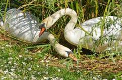 As cisnes acoplam-se na primavera Fotografia de Stock Royalty Free