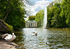 As cisnes bonitas no lago em Sofiyivsky estacionam em Uman, Ucrânia Imagens de Stock