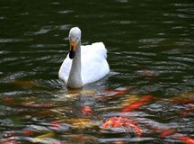As cisnes estão nadando no peixe dourado withRed e amarelo do rio em escuro - fundo verde foto de stock royalty free