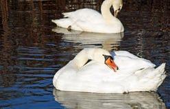 As cisnes mudas bonitas que enfeitam-se suas penas ao flutuar em águas surgem Imagens de Stock