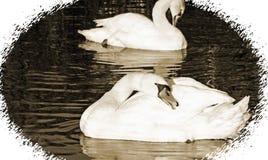 As cisnes mudas bonitas que enfeitam-se suas penas ao flutuar em águas surgem Tom do Sepia e beira do olhar do vintage Fotografia de Stock