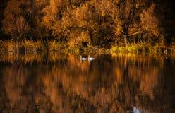 As cisnes na água dourada do outono pond Imagem de Stock Royalty Free