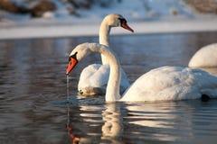 As cisnes no rio no inverno puseram a cabeça sob a água Fotografia de Stock Royalty Free