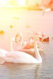 As cisnes, os patos e as gaivotas nadam fora da costa do Mar Negro em Foto de Stock