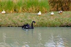 As cisnes pretas estão nadando no pântano Imagens de Stock Royalty Free