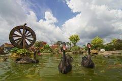 As cisnes pretas nadam com os peixes do koi na lagoa Imagem de Stock Royalty Free