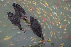 As cisnes pretas nadam com os peixes do koi na lagoa Imagens de Stock Royalty Free