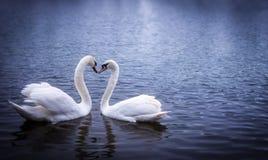 As cisnes que formam um coração dão forma com seus pescoços Fotografia de Stock Royalty Free