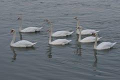 As cisnes são um gênero dos pássaros do Anatidae da família fotografia de stock