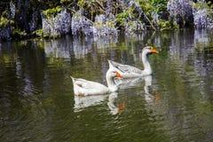 As cisnes sós vivem na lagoa Foto de Stock