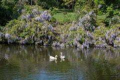 As cisnes sós vivem na lagoa Foto de Stock Royalty Free