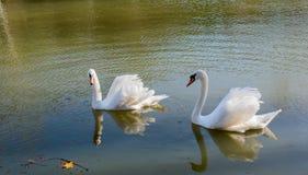 As cisnes sós vivem na lagoa fotos de stock