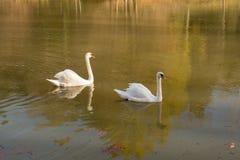 As cisnes sós vivem na lagoa imagens de stock royalty free