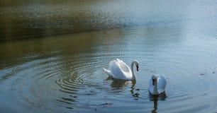 As cisnes sós vivem na lagoa fotografia de stock