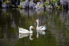 As cisnes sós vivem na lagoa Fotos de Stock Royalty Free