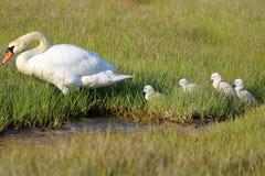 As cisnes todas dos cisnes novos alinharam imagens de stock royalty free