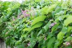 As clematites cor-de-rosa florescem na cerca no jardim Imagens de Stock