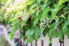 As clematites cor-de-rosa florescem na cerca no jardim Fotografia de Stock