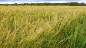 As colheitas do cereal balançam dum lado ao outro na precipitação de uma brisa fresca, jogo verde-claro sob o sol filme