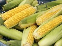 As colheitas do milho Foto de Stock Royalty Free