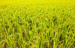 As colheitas estão amadurecendo Imagem de Stock Royalty Free