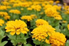 As cores amarelas ou alaranjadas do foco seletivo do Zinnia Elegans florescem no fundo maravilhoso das flores do rosa do borrão n Imagens de Stock