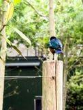 As cores azul-à-verdes iridescentes impressionantes de um superbus magnífico adulto de Starling Lamprotornis fotos de stock royalty free