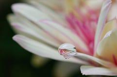 As cores brancas & roxas da margarida em uma água deixam cair Imagem de Stock Royalty Free
