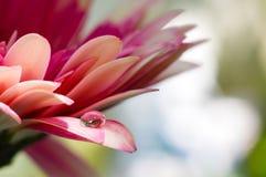As cores consideravelmente roxas da margarida em uma água deixam cair com bokeh brilhante Imagem de Stock Royalty Free