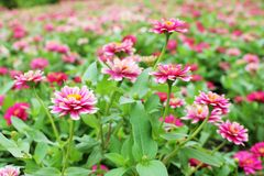 As cores cor-de-rosa e brancas pequenas bonitas do Zinnia Elegans florescem no fundo maravilhoso das flores Imagem de Stock Royalty Free