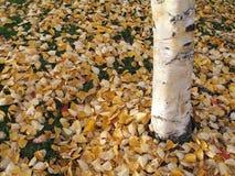 As cores da queda de Autumm na manhã das folhas iluminam-se em Anchorage, Alaska Imagens de Stock