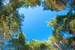 As coroas da árvore tiram um círculo no céu imagem de stock