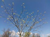 As coroas das árvores com as folhas verdes que florescem na mola estacionam contra o céu azul Foto de Stock