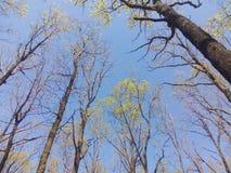 As coroas das árvores com as folhas verdes que florescem na mola estacionam contra o céu azul Foto de Stock Royalty Free
