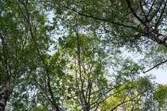 As coroas das árvores de vidoeiro contra o céu azul A vista para fotos de stock royalty free