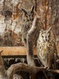 as corujas Longo-orelhudas sentam-se em ramos Fotografia de Stock