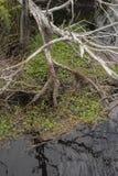 As cracas cobrem raizes expostas da árvore fotos de stock